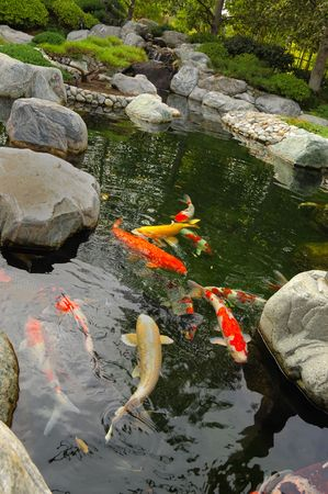 Koi pond in a Japanese garden 스톡 콘텐츠