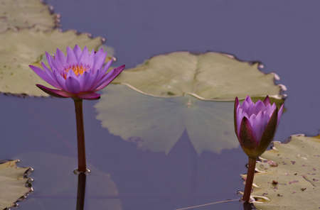 lilia: different view of water flower