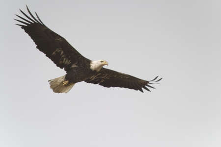 eagle flying: bald eagle flying