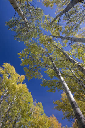 diagonals: yellow aspen trees in fall  Stock Photo