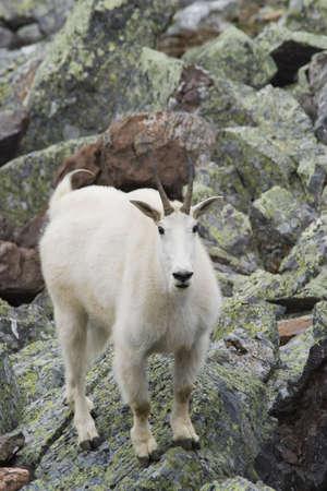 berggeit: berg geit in Canadese rockies Stockfoto