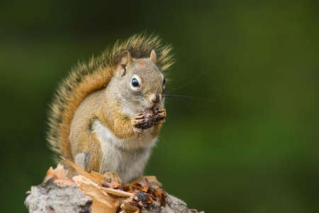 wild squirrel eating a cone in the forest , green background photo