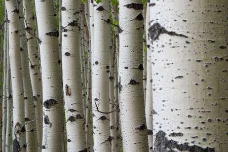 many aspen tree trunks in a row photo