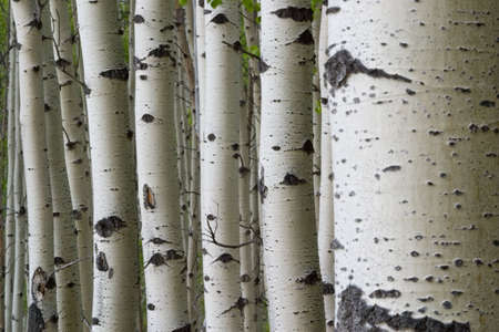 many aspen tree trunks in a row
