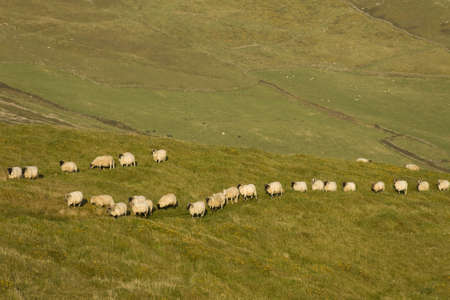 queueing: sheep in a row on meadow Stock Photo