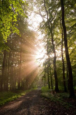 iluminados: sunbeams, brillando a través de los árboles del bosque