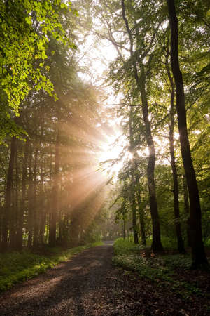 sunbeams shining through forest trees Stock Photo - 6796762