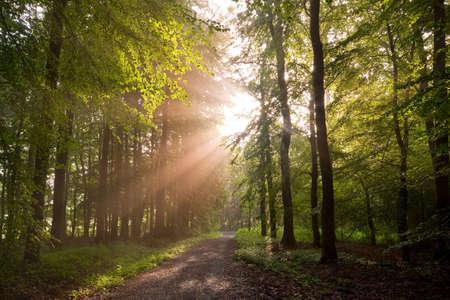 shining through: raggi splende attraverso gli alberi della foresta