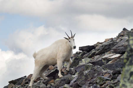 mountain goat climbing up rocky slope