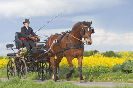 young woman coaching horse-drawn carriage Stock Photo