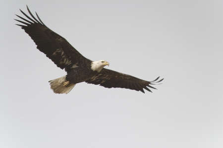 bald eagle flying wings spread, sky bright grey