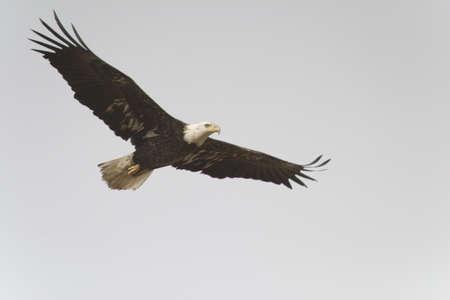 aguila volando: �guila calva volando alas difundir, gris brillante cielo