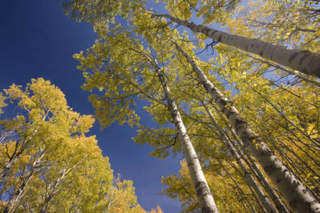 aspen trees in fall, yellow with blue sky, shot into sky Stock Photo
