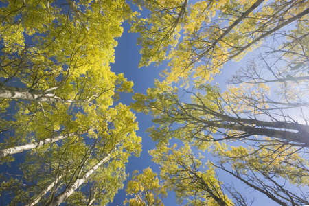 aspen trees in fall, yellow with blue sky, shot into sky photo