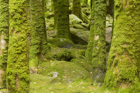 moos: moss covered tree trunks in ireland Stock Photo