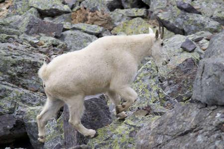 cabra montes: Perfil de cabra sobre escombros gris