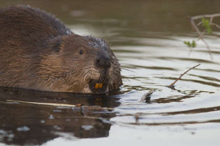 beaver in pond showing teeth