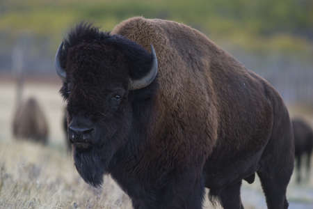 bison buffalo closeup Stock Photo