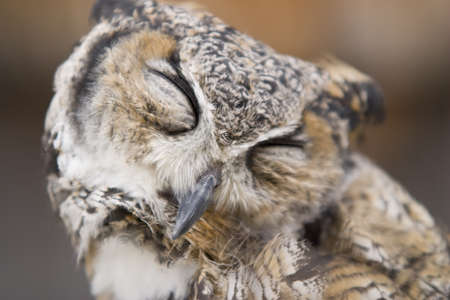 portrait of great horned owl,eyes closed  Stock Photo