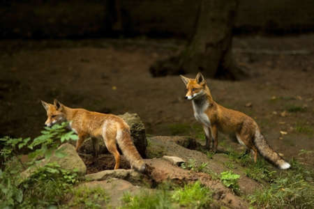 two red foxes watching out in forest,natural