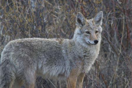 coyote: coyote wild, bushes Stock Photo