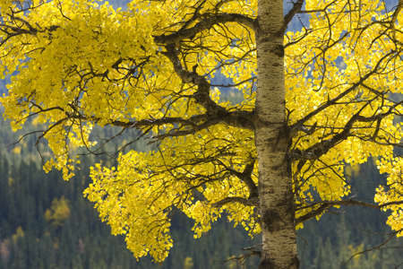 aspen tree in fall, backlit by natural light Stock Photo - 9439451