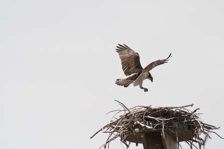 nido de pajaros: �guila en su nido de aterrizaje