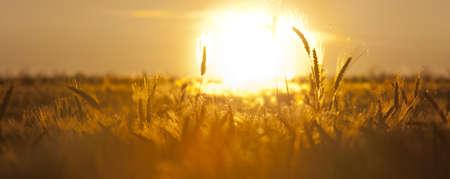 spica: espiga de trigo y de campo con el sol poniente Foto de archivo