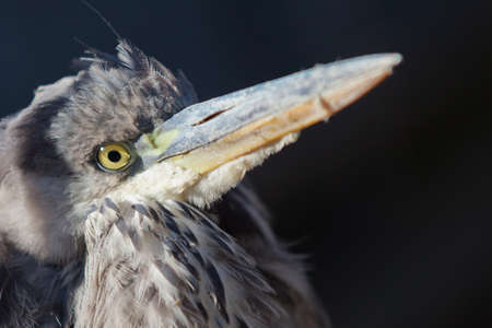 telephoto: Portrait of Grey Heron in Wilderness. He was under shock and did not fear people. Stock Photo