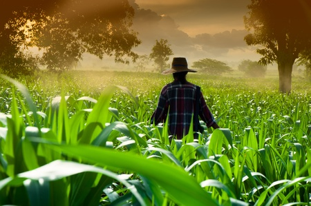 Farmer vrouw lopen in maïsvelden in de vroege ochtend Stockfoto