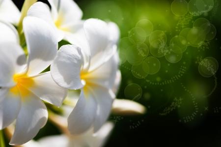 frangipani tropische spa bloemen, groene lefs op de achtergrond