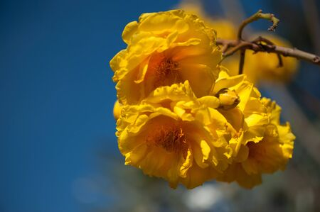 Yellow exotic flowers on a tree  Cochlospermum regium   Also known as Yellow Cotton Tree or Mart   Schrank photo