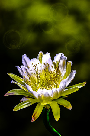 cereus: The beautiful large night blooming cereus flower on green background