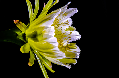 cereus: The beautiful large night blooming cereus flower on black background Stock Photo