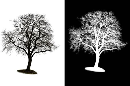 large trees: A isolated winter tree with alpha mask