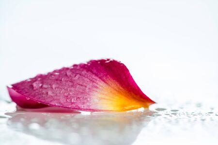 flower petal: Pink frangipani flower petal isolated on white background Stock Photo