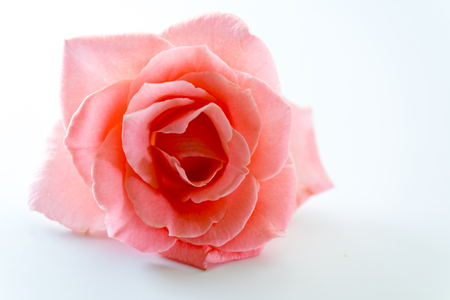 single soft pink rose flower