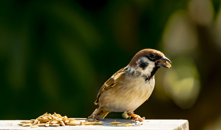 domesticus: house sparrow - Passer domesticus - eating some rice grain