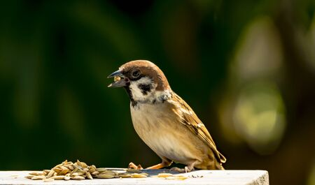 passer by: house sparrow - Passer domesticus - eating some rice grain