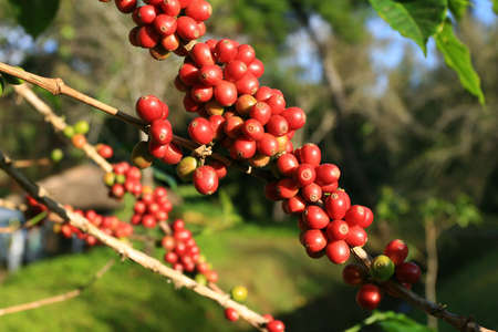 Coffee beans ripening on plant photo