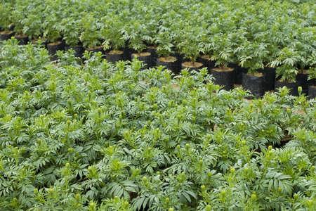 garden marigold: Garden Marigold