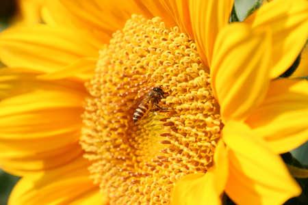 Honey Bee on Sunflower Stock Photo - 7111431