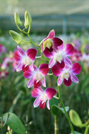 Lilac Orchid Stock Photo - 7111446