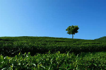 Lonely Tree in tea plantation Stock Photo