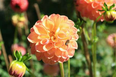Honey Bee on Dahlia Flower photo