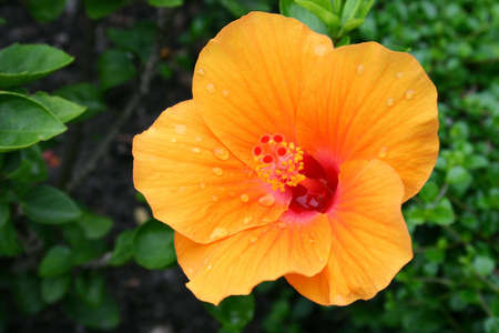 Hibiscus jaune  Banque d'images - 7153214