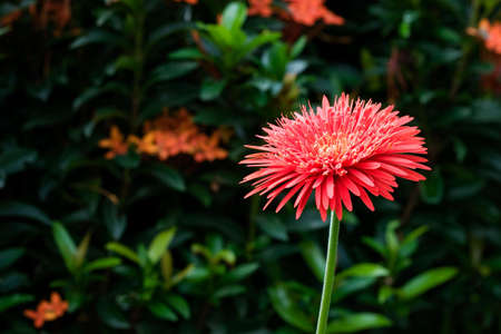 Gerbera Flowers photo