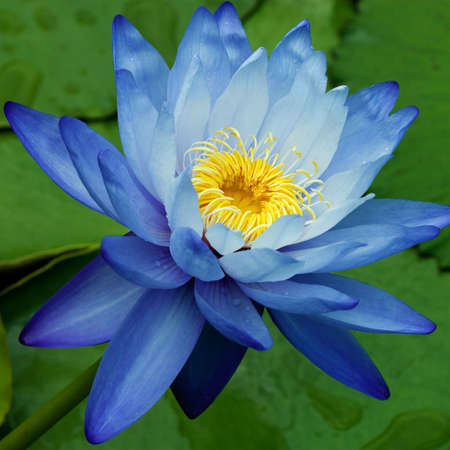 Blue Water Lily  Banque d'images - 7648178