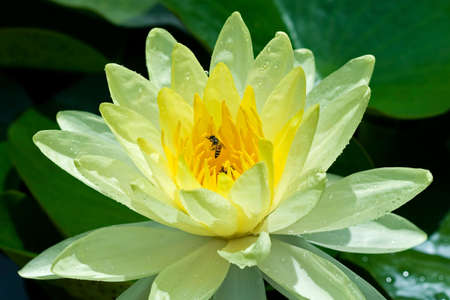 Yellow Water Lily photo