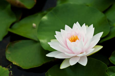 Water Lily Stock Photo - 7659104